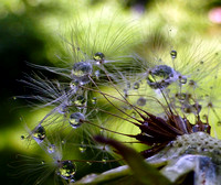 Dandelion after the rain